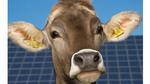 Hochspannungsleitungen beinflussen die Hormonproduktion bei Kühen