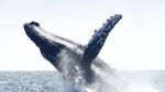 Buckelwale als Vorbild