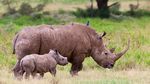 Nashorn-Tracking im IoT