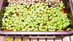 Die NASA erforscht die Produktion von Salatkulturen im Weltraum und kooperiert dafür mit Osram.