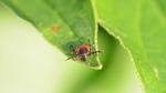Optische Biosensoren erkennen  Lyme-Borreliose früher