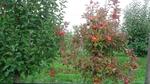 Apfeltriebsucht